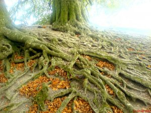 Tree of Avebury